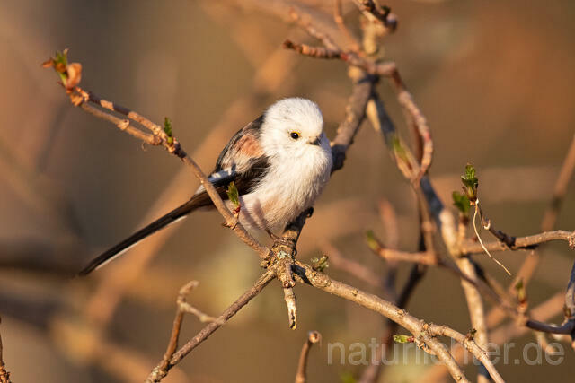 R13499 Schwanzmeise, Long-tailed Tit - Foto: Christoph Robiller