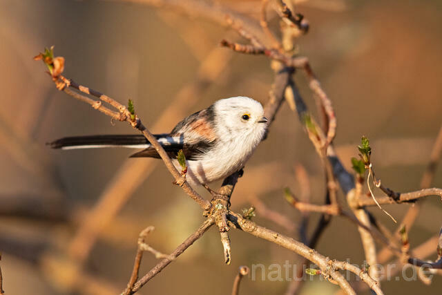 R13500 Schwanzmeise, Long-tailed Tit - Foto: Christoph Robiller